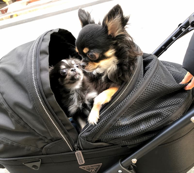 AIRBUGGY FOR PETのDOME2にチワワ2匹